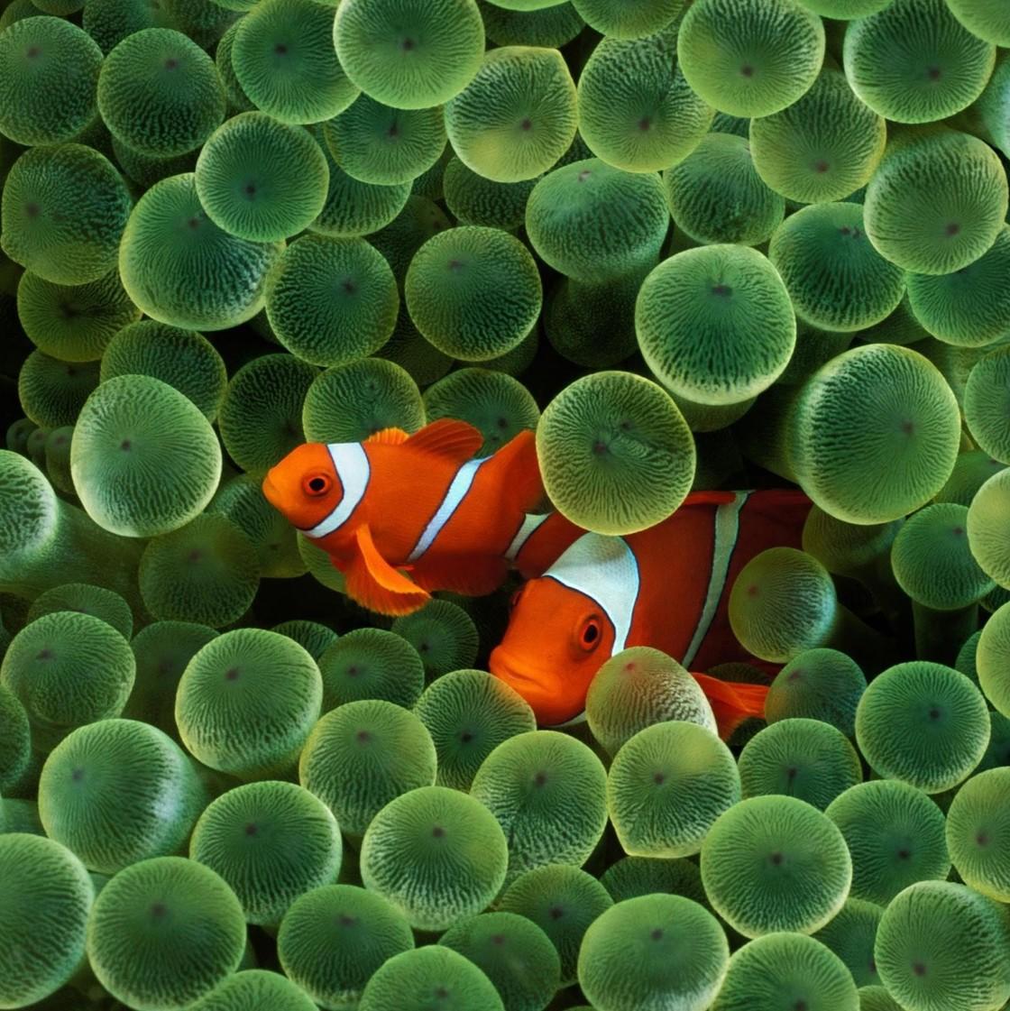 经典的珊瑚鱼壁纸